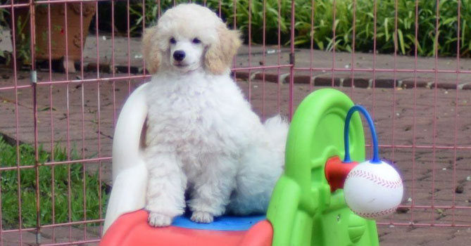 miniature poodle puppies